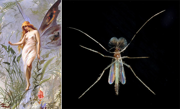 Composite image of a classical depiction of a fairy, by 17th century artist Luis Ricardo Falero (left), and a chironomid, or non-biting midge, photographed by Glen Peterson (right)