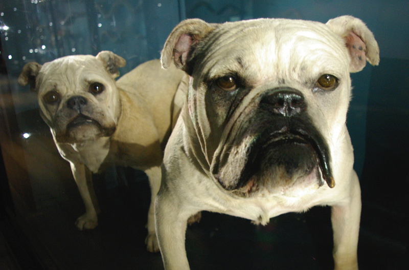Two taxidermied bulldogs
