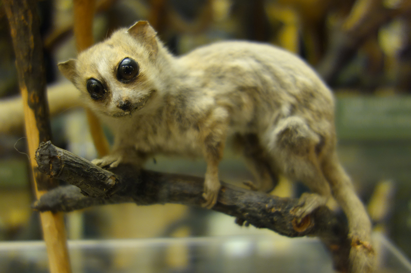 A taxidermied specimen from the lemur family