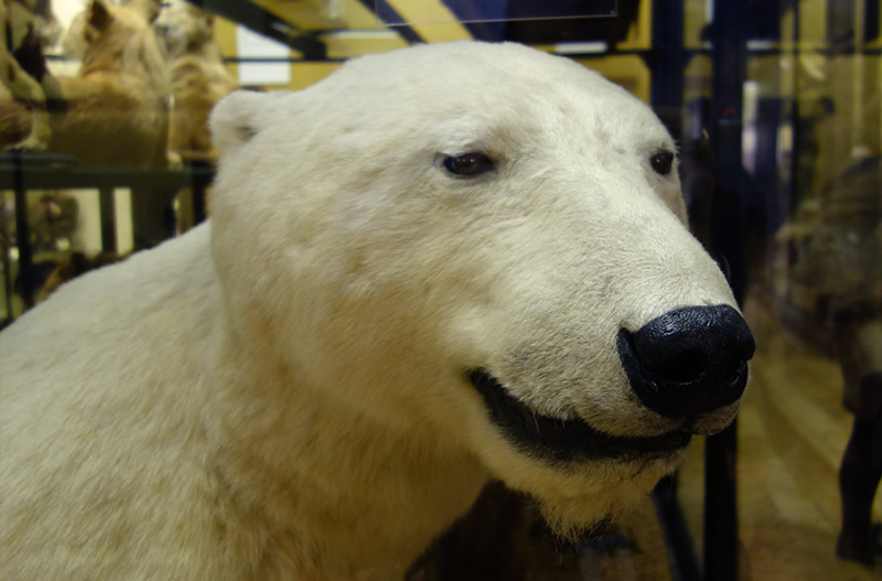 'Smiling' polar bear at Tring museum