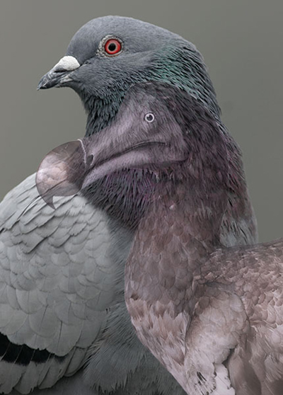 An image of a dodo overlaid on an image of a pigeon