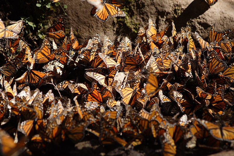 A cluster of monarch butterflies on the forest floor