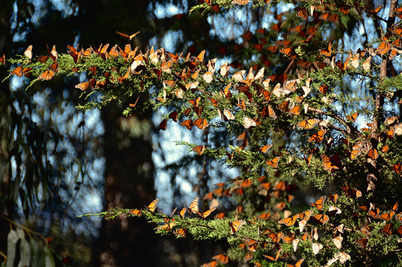Monarch butterflies clustered all over a tree branch