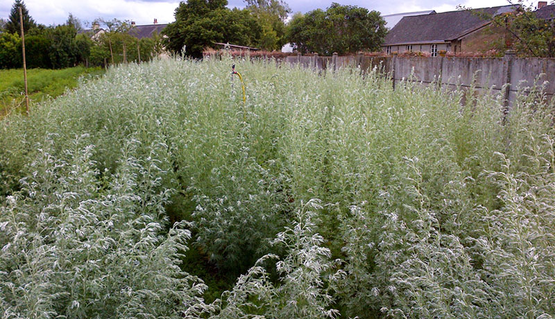 Field of absinthe herbs and botanicals