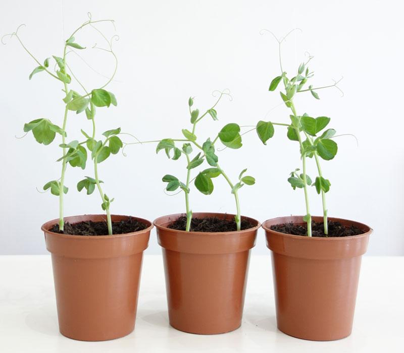 Three pea plants